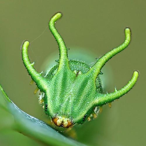 Caterpillar of the Plain Nawab Butterfly