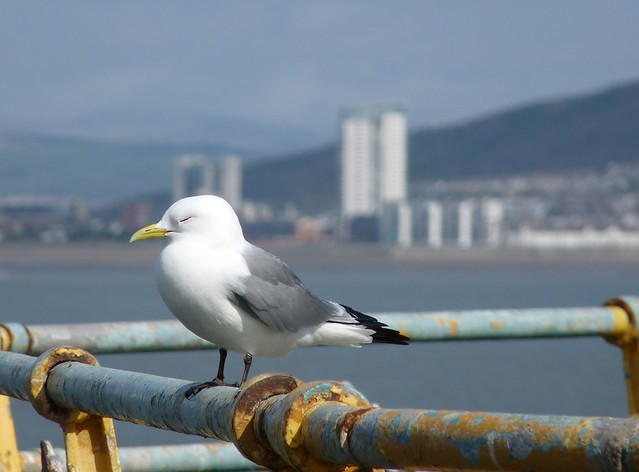 24116 - Kittiwake on Mumbles Pier