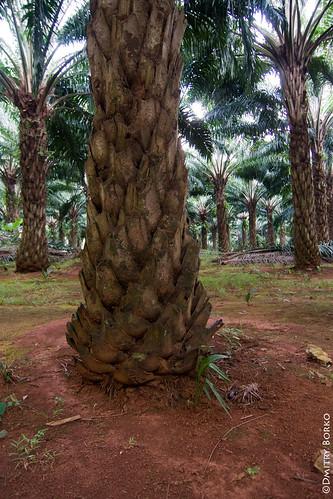 Плантации маслячных пальм, Краби