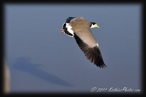 Masked Wing Plover in flight