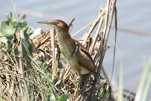 Least bittern by ricmcarthur