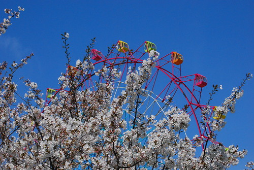 cherry tree and ferris wheel