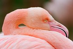 Resting the head on the neck... (Tambako the Jaguar) Tags: pink bird eye face closeup neck zoo switzerland nikon long close flamingo profile beak basel rest d700