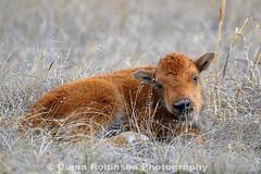 Buffalo Calf days old (diana_robinson) Tags: buffalo nebraska calf niobrarariver bisoncalf fortniobraranationalwildliferefuge valentinenebraska nikond3sdianarobinson calfinthegrass