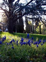 6) springfield (overthemoon) Tags: morning blue trees woman green cemetery field grass sunrise schweiz switzerland spring suisse meadow prairie svizzera printemps gcc muscari vaud grapehyacinth romandie springgcc overthemoonspringassignment