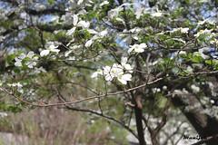 بهار, Spring (Always Flying) Tags: sun flower tree green leaves spring day بهار درخت سبز گل روز برگ خورشید