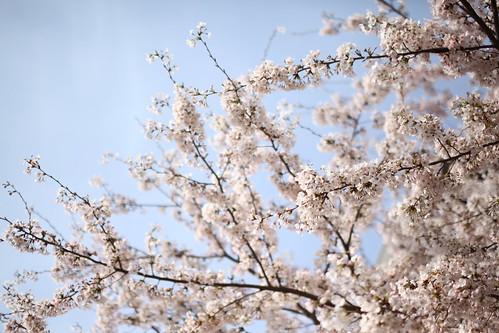 snap,flower,風景,花,sakura