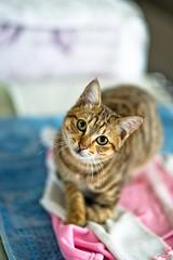 DSC05536 (StagnantLife & Bearangel) Tags: street pet cats pets cute cat minolta sweet f14 sony taiwan 85mm sigma taipei 台灣 台北 f28 貓 2875mm a850