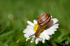 Schnirkelschnecke  / Helicidae (2) (Ellenore56) Tags: light inspiration color colour macro nature animal garden licht photo klein foto little magic natur perspective snail daisy vista environment imagination outlook helix moment midget creature makro magical farbe garten schnecke tier perspektive ecological gnseblmchen umwelt augenblick helicidae faszination cepaeahortensis lebewesen a350 cepaea schnirkelschnecke sonyalpha whitelippedsnail bnderschnecke gartenbnderschnecke dslra350 sonyalphadslra350 gartenschnirkelschnecke ellenore56 11042011