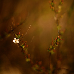 (sommerpfuetze) Tags: brown color nature square 50mm spring blossom bokeh idream littleuniverse