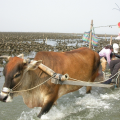 牛車入海是大城溼地獨有的人文風景