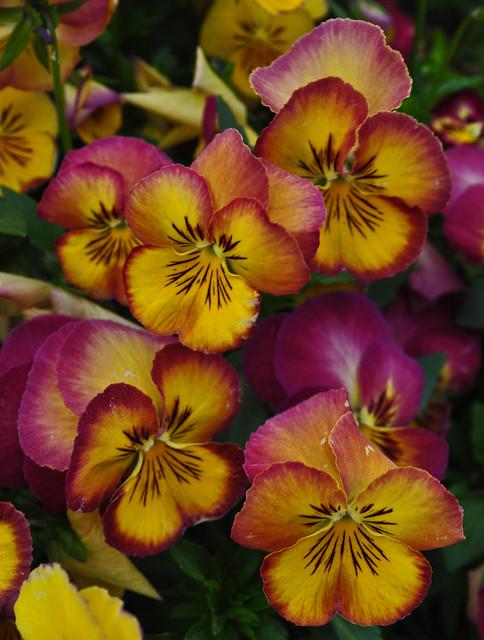 Viola 'Radiance Red'