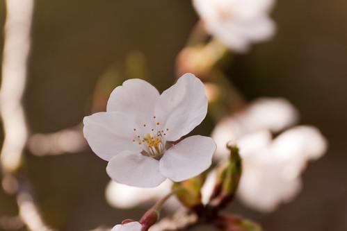 見附公園の桜4