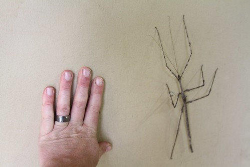 Giant stick insect (Bactrododema krugeri)