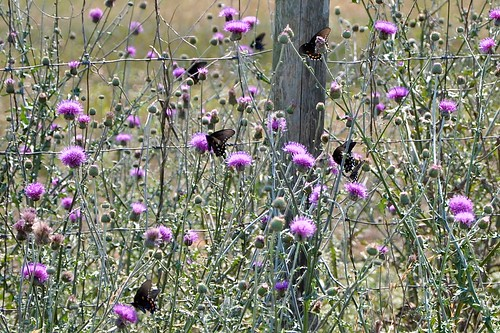 Thistle & butterflies 2
