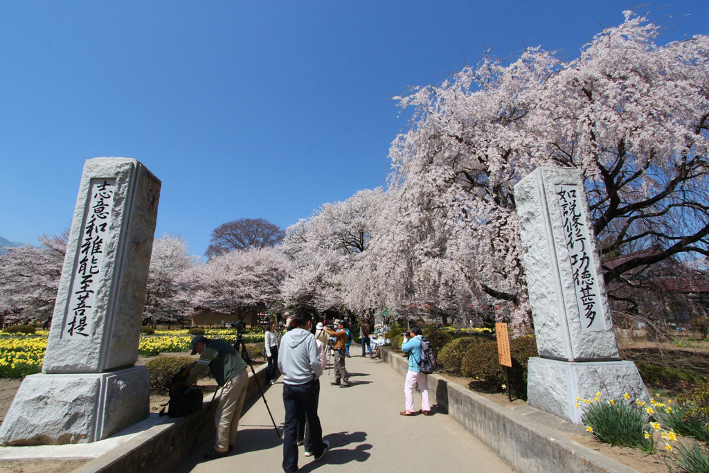 Sakura Photo 2011The Yamadaka Jindai Cherry blossom (6)