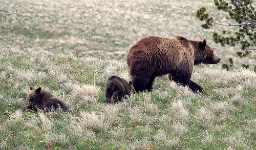 Mama Grizzly Bear and Cubs