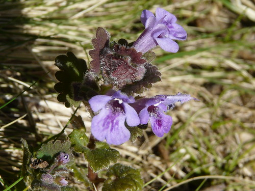 Ground Ivy (Glechoma hederacea) by Peter Orchard