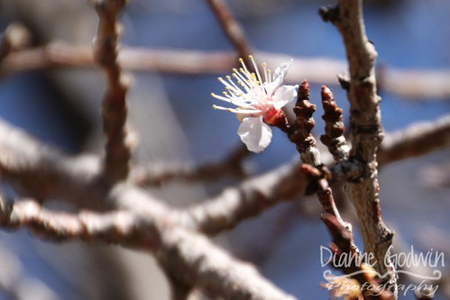 apricot_blossom_crop