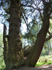 Douglas Fir Veteran Tree