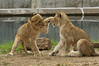 """It started with a simple """"doink"""" to the nose... (ucumari photography) Tags: smithsonian dc washington lion april nationalzoo cubs 2011 specanimal ucumariphotography dsc8298"""