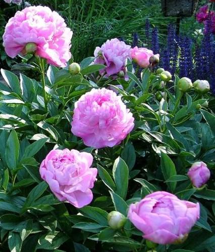 Peony Vivid Rose