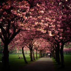 Cherry blossoms (3faeries) Tags: tree nature cherry japanese spring edinburgh blossoms meadows bloom 3faeriescom