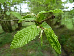"Young Hornbeam leaves • <a style=""font-size:0.8em;"" href=""http://www.flickr.com/photos/61957374@N08/5643533181/"" target=""_blank"">View on Flickr</a>"