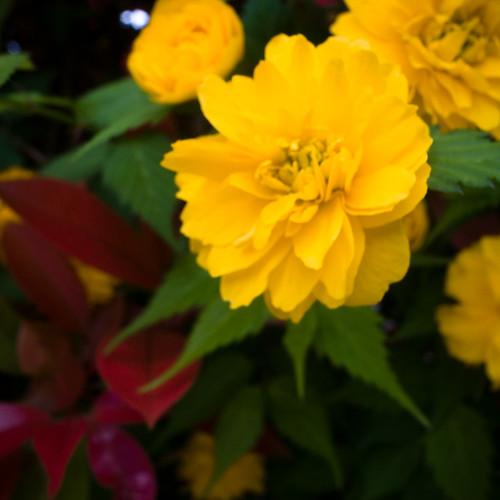 Yellow Blossom Mimomi