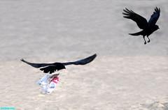 InFlightAgain (mcshots) Tags: california usa bird beach birds trash neck coast losangeles stock flight strangle socal plasticbag crow mcshots twisted