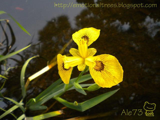 iris acquatico.JPG