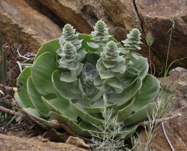 Wild succulent!