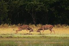 Battle (Sara-D) Tags: asia battle srilanka ceylon mammals wildanimals wilpaththu