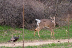 Deer and Turkey DSC_2102 by Mully410 * Images