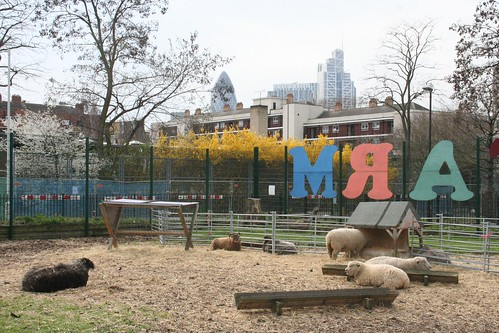 MRA sheep