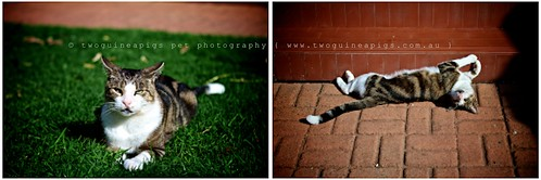 Resident cat Big Ears by twoguineapigs Pet Photography, part of Mozart series