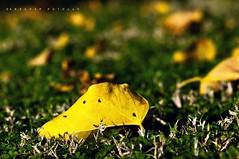 The fall of a leaf is a whisper to the living (puthoOr photOgraphy) Tags: leaf lightroom d90 oldleaf adobelightroom tokina100mm28 tokina100mmf28atxprod lightroom3 amazingqatar puthoor fallofaleaf gettyimagehq