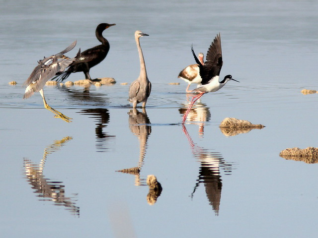 Black-necked Stilt 3-20110426