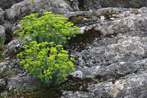 Euphorbia no Torcal
