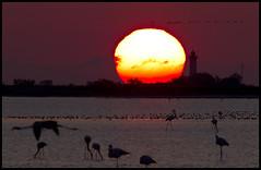 ATARDECER ENTRE FLAMENCOS (Alex Olea) Tags: sunset sea sun lighthouse france bird sol silhouette faro atardecer mar mediterraneo flamingo ave silueta francia marisma flamenco saltmarsh lacamarga