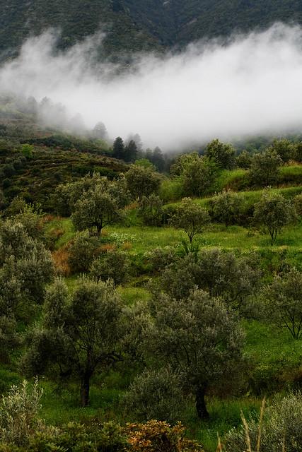 olive grove1