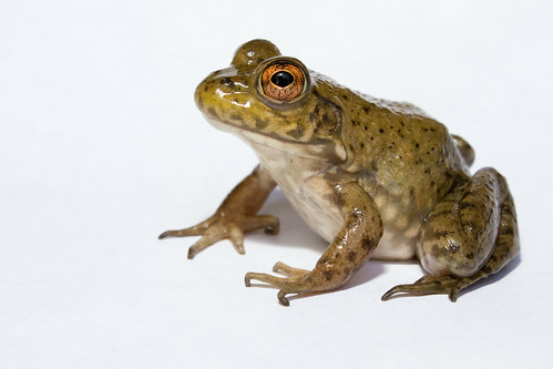 Lithobates catesbeianus - Bullfrog by brian.gratwicke, on Flickr