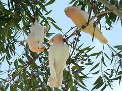 Major Mitchell's Cockatoo (Lophochroa leadbeateri) - Just Hangin' (David Cook Wildlife Photography (kookr)) Tags: australia nsw pinkcockatoo cacatualeadbeateri majormitchellscockatoo kookr lophochroaleadbeateri sonysal70400g merriwagga davidcookwildlifephotography sonyslta33 2011davidphotographyallrightsreserved taxonomy:binomial=lophochroaleadbeateri