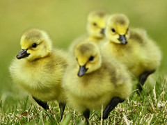 Here we come!!! (VA Wild Rose) Tags: nature birds wildlife ngc goose gosling canadagoose brantacanadensis mygearandme mygearandmepremium mygearandmebronze mygearandmesilver mygearandmegold mygearandmeplatinum