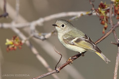 Ruby-crowned Kinglet (BigBrotherBear) Tags: morning jason ontario canada slr digital america canon is spring bokeh flash 14 tripod north conservation sharp full 300mm professional ii frame area april pro mk2 5d 28 usm 300 ruby beamer better f28 ef 580ex fillflash 28l brampton wimberley songbird mkii extender crowned 580 kinglet speedlite 2011 14x gimbal 300l f28l canonextenderef14xii feisol jobu canonef300mmf28lisusm 580exii exii claireville 14xmkii 5dmkii idzerda extendermkii