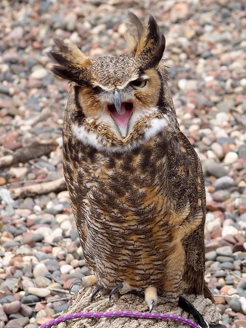 The resident Great Horned Owl at Elm Creek Park Reserve.