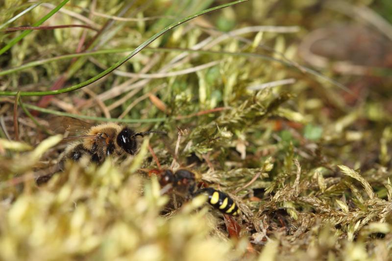Cuckoo Bee and Bee Fly