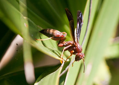 "Fripp - large hornet • <a style=""font-size:0.8em;"" href=""http://www.flickr.com/photos/30765416@N06/5692292332/"" target=""_blank"">View on Flickr</a>"