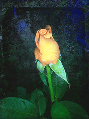 One - Yellow Rose