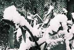 Dichotomy (AprilGaronPhotography) Tags: winter snow snowfall analogphotography snowday bananatree 35mmphotography winterweather blackandwhitephotography
